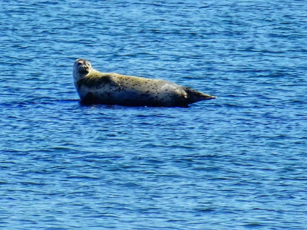 Explore Long Island - Seal at Shelter Island #travel #roadtrip #newyork #thingstodo