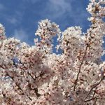 Cherry Blossom Düsseldorf #travel #germany #solo #sakura #hanami