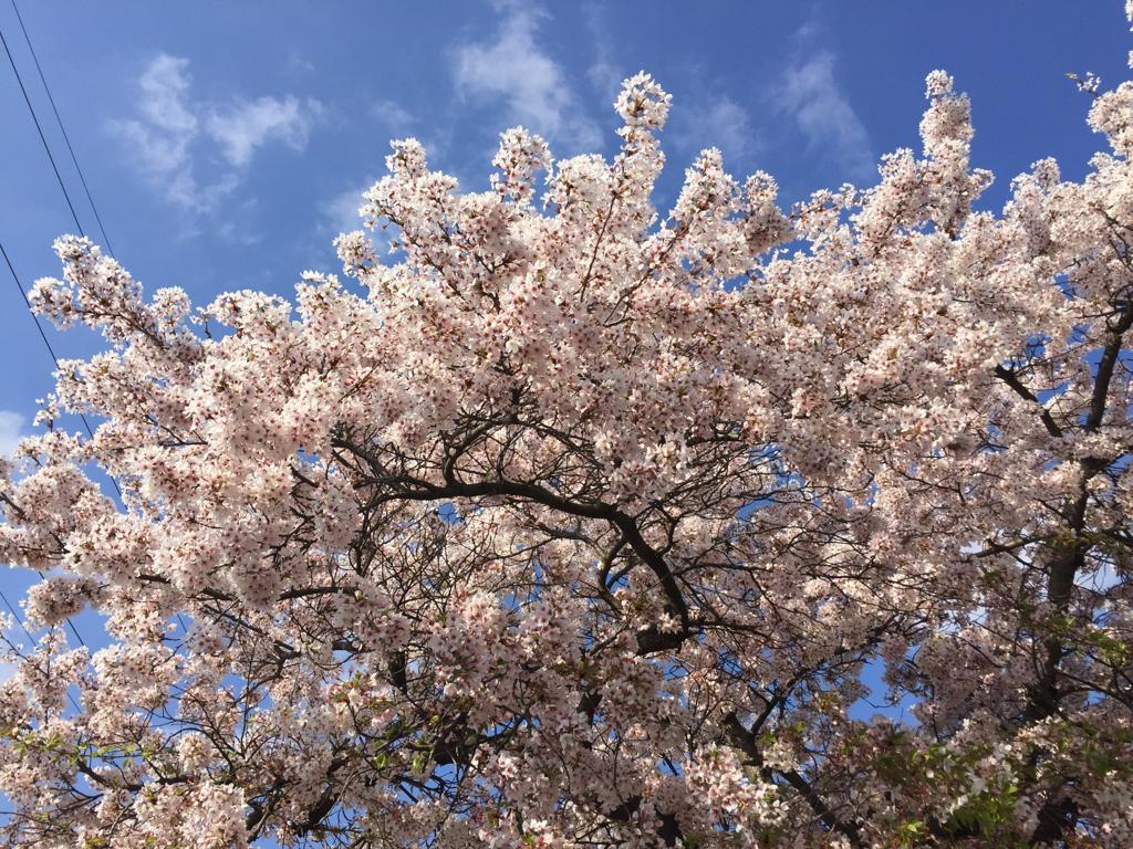 Cherry Blossom Düsseldorf Südpark #travel #germany #cherryblossom #sakura #thingstodo #weekend #vacation