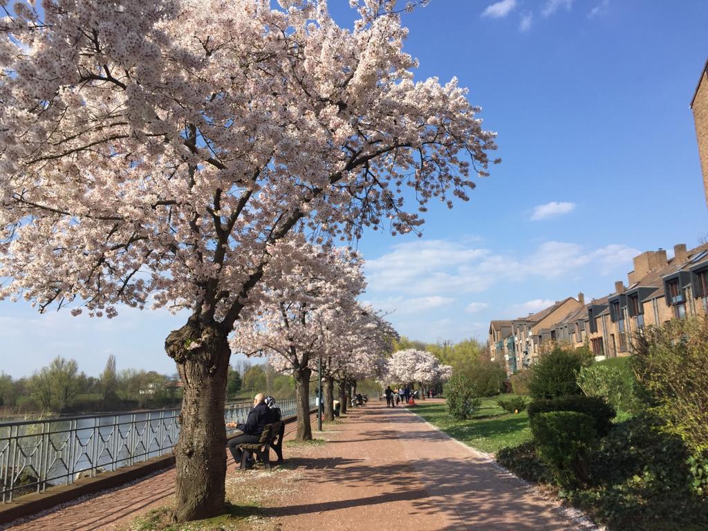 Cherry Blossom Düsseldorf Südpark Cherry Trees Alley #travel #germany #cherryblossom #sakura #thingstodo #weekend #vacation