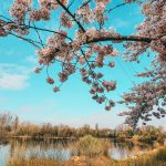 Sakura In Düsseldorf Or Where To Find The Best Spots To See Cherry Blossom