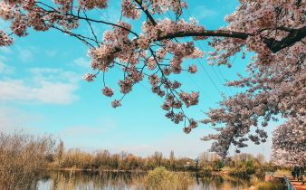 Travel to Düsseldorf, Germany during Cherry Blossom and find the best spots to watch Sakura!